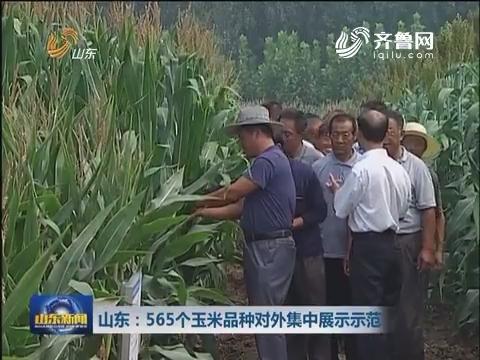 山东:565个玉米品种对外集中展示示范