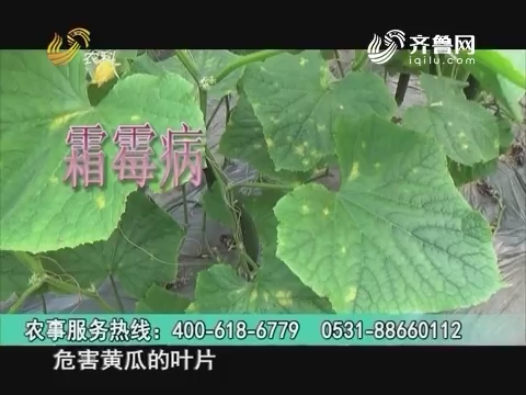 20160928《当前农事》:黄瓜霜霉病