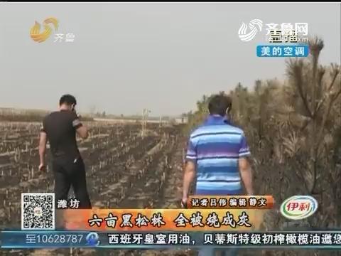 潍坊:六亩黑松林 全被烧成灰