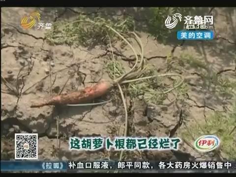 潍坊:胡萝卜烂根 种植户焦急万分