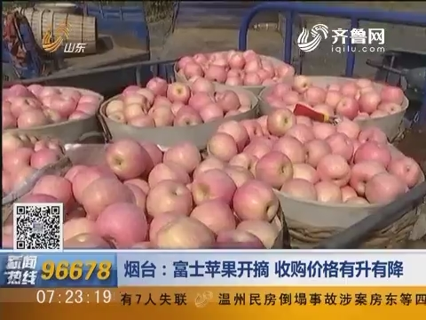 烟台:富士苹果开摘 收购价格有升有降