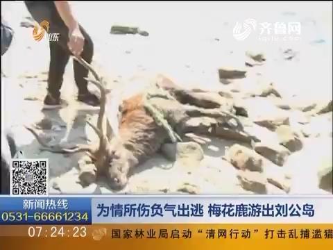 威海:为情所伤负气出逃 梅花鹿游出刘公岛