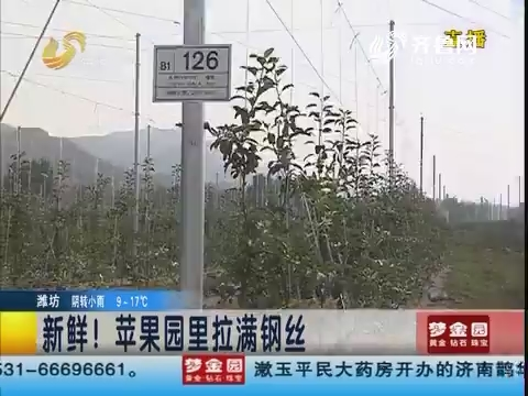 淄博:新鲜!苹果园里拉满钢丝