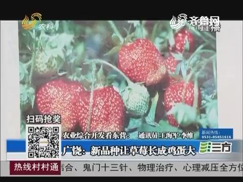 【农业综合开发看东营】广饶:新品种让草莓长成鸡蛋大