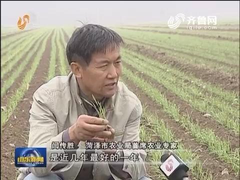 小麦总体长势良好 菏泽临沂等地出现旺长