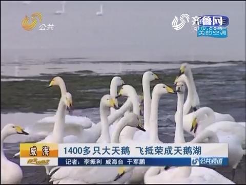威海:1400多只大天鹅 飞抵荣成天鹅湖