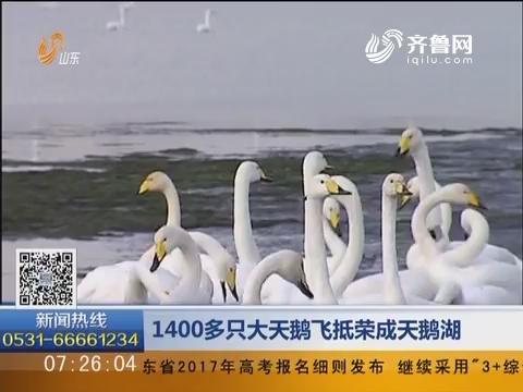 荣成:1400多只大天鹅飞抵天鹅湖