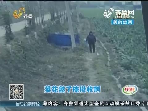 济宁:光天化日 庄稼地里来偷菜