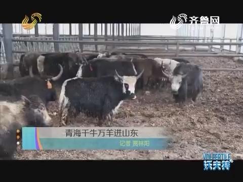 青海千牛万羊进山东