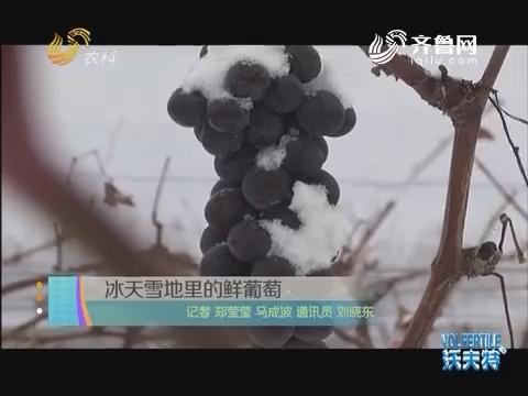 冰天雪地里的鲜葡萄