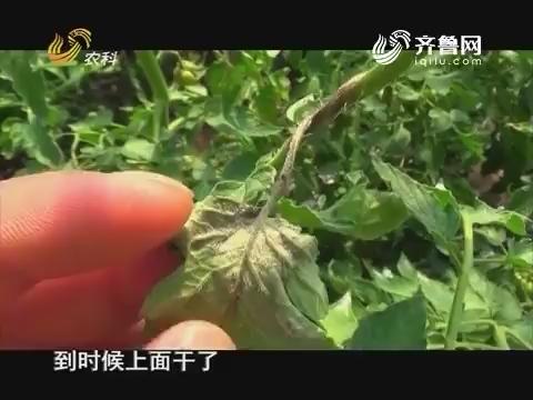 20161205《当前农事》:西红柿晚疫病