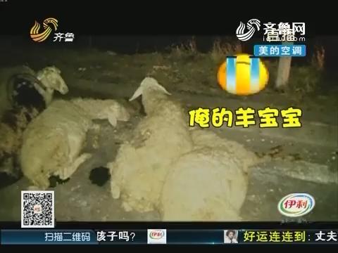 济宁:车祸!20头羊被撞死