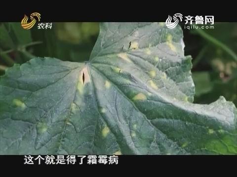 20161228《当前农事》:黄瓜霜霉病