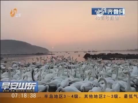 【4G信号直播】荣成烟墩角:新年朝阳初升 黄海渔村天鹅舞翩跹(上)