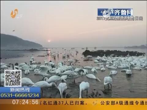 【4G信号直播】荣成烟墩角:新年朝阳初升 黄海渔村天鹅舞翩跹(下)