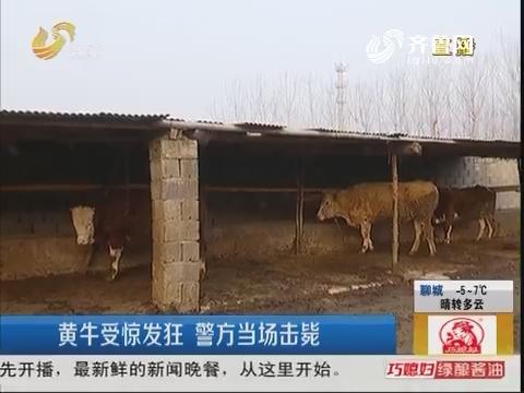 临沂:黄牛受惊发狂 警方当场击毙