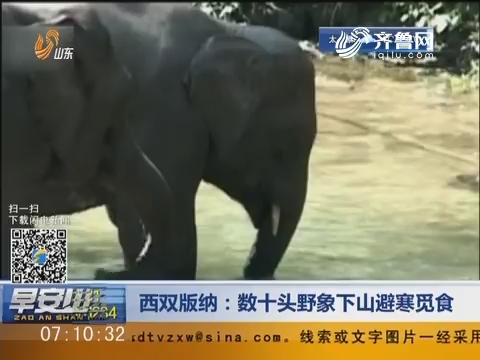西双版纳:数十头野象下山避寒觅食