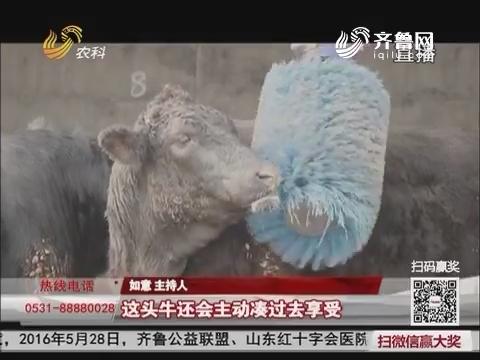 """【一桌放心年夜饭】第七期:走进阳信 探寻""""听音乐 做按摩""""的肉牛"""