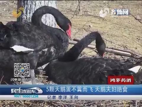 泰安:5颗天鹅蛋不翼而飞 天鹅夫妇绝食