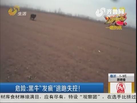 """【淄博】危险:黑牛""""发疯""""逃跑失控!"""