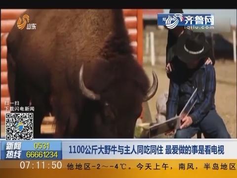 1100公斤大野牛与主人同吃同住 最爱做的事是看电视