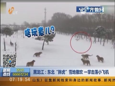 """黑龙江:东北""""胖虎""""雪地撒欢 一掌击落小飞机"""