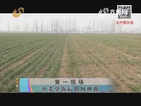 第一现场 小麦受冻后如何补救