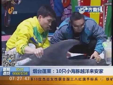 烟台蓬莱:10只小海豚越洋来安家