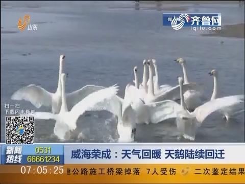 威海荣成:天气回暖 天鹅陆续回迁
