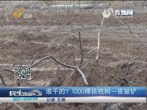 济南:谁干的?1000棵核桃树一夜被铲