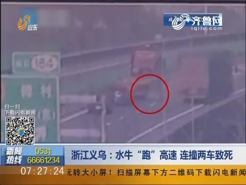 """浙江义乌:水牛""""跑""""高速 连撞两车致死"""