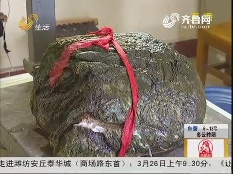 """临沂:稀奇!河里捞出十公斤""""太岁"""""""