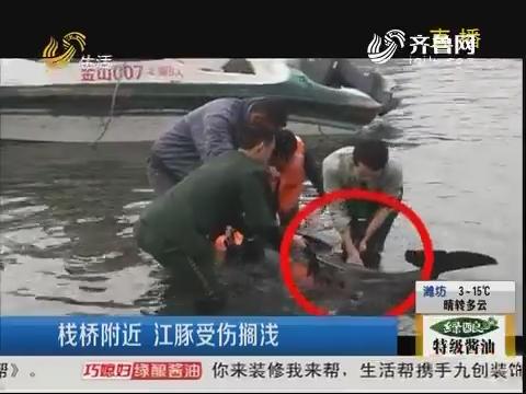 青岛:栈桥附近 江豚受伤搁浅