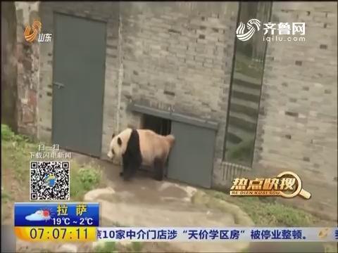 【热点快搜】四川:旅美大熊猫回国后首次亮相