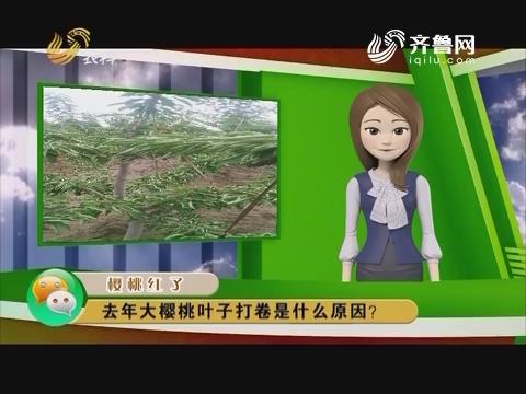 庄稼医院远程会诊:去年大樱桃叶子打卷是什么原因?