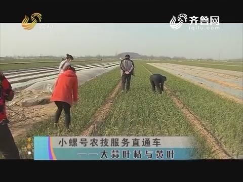小螺号农技服务直通车——大蒜叶枯与黄叶