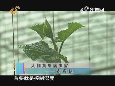大棚黄瓜病虫害——霜霉病