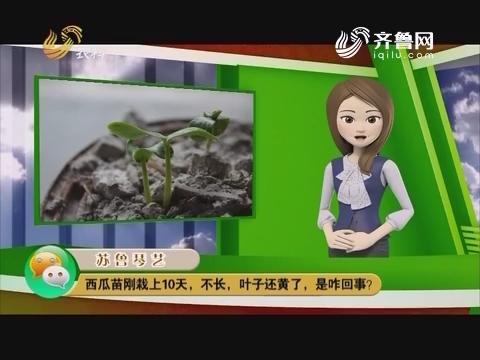 庄稼医院远程会诊:西瓜苗刚栽上10天,不长,叶子还黄了,是咋回事?