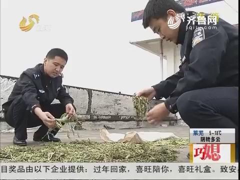 德州:荒唐!罂粟当菜种 男子被拘留