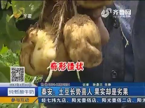 泰安:土豆长势喜人 果实却是劣果