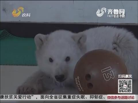 """【群众新闻】蓬莱:小北极熊过""""百天"""""""