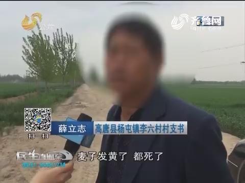 聊城:20多亩小麦大面积枯死