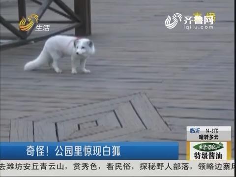 青岛:奇怪!公园里惊现白狐