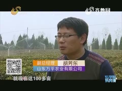 农业节水山东行 茶园灌溉各有高招