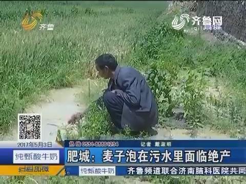 肥城:麦子泡在污水里面临绝产