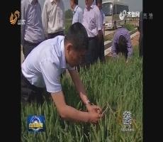 小麦条锈病防治面积超1500万亩 山东拨付3750万元省级救灾资金