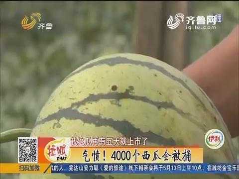 青州:气愤!4000个西瓜全被捅