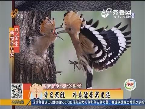 宁阳:萌翻了!鸡窝里孵出一窝小鸟