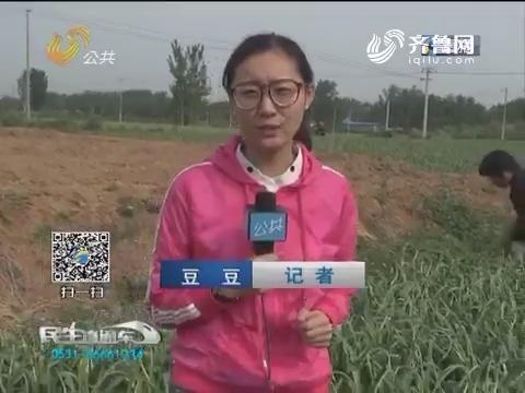 济南:蒜农抢时间提蒜薹