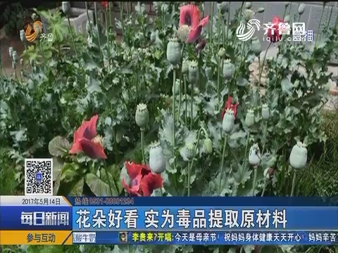 淄博:小区种植罂粟 民警责令铲除